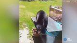 WATCH: Curious bear tries to jump through window